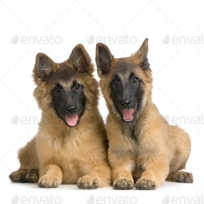 couple of Puppy Belgian Tervuren