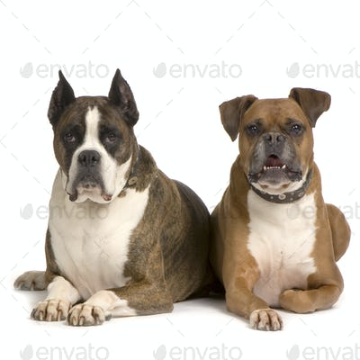 couple of Boxer