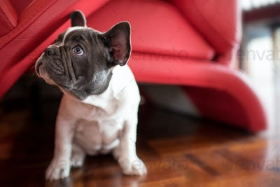 Portrait of puppy French bulldog sitting at home