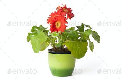 gerbera daisy in  flowerpot