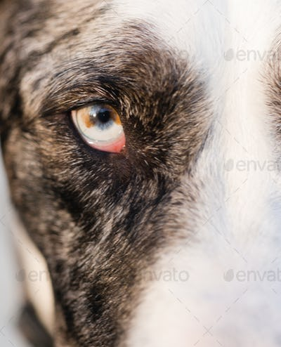 Wild Canine Eye Looks Right at Viewer Black and White Fur
