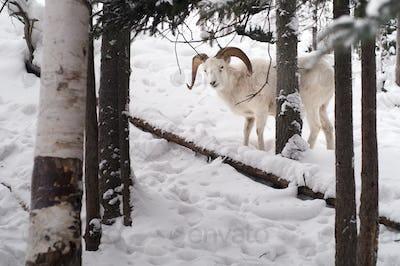 Dall Sheep Keeps an Eye on me in the Chugach Range of Alaska