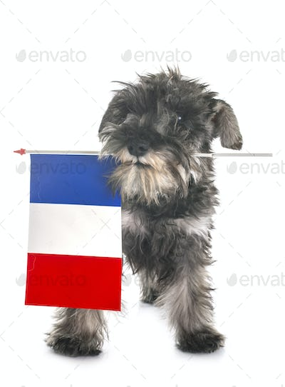 puppy Miniature Schnauzer and french flag