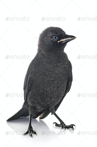 jackdaw in studio