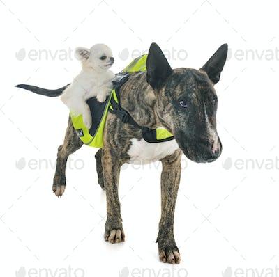 bull terrier, chihuahua and saddlebag