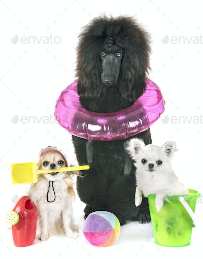 black standard poodle and chihuahuas