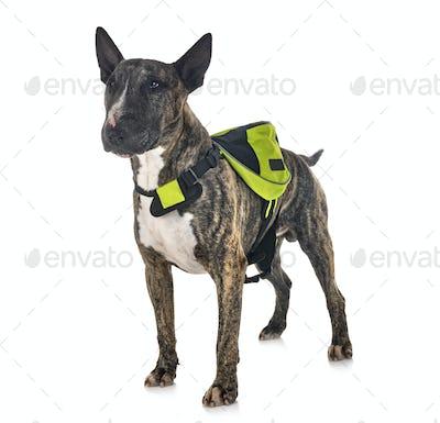 bull terrier and saddlebag
