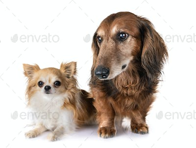 old dachshund and chihuahua