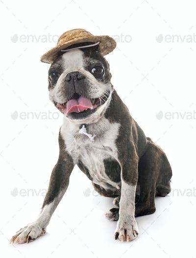 boston terrier in studio