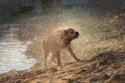 Wte dog shaking off