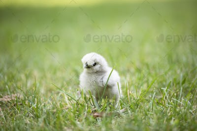 Silkie Chick in Grass