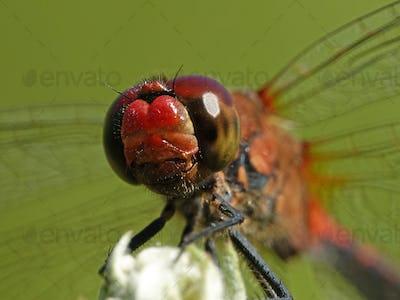 Ruddy darter (Sympetrum sanguineum)
