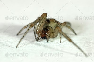 Domestic house spider (Tegenaria domestica)