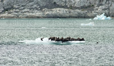A Group of Wild Seal Lions Huddle Togther on an Iceburg