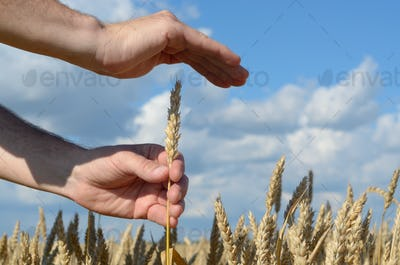 Human hands with wheat ears. Crop protection and care concept