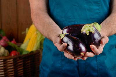 Farmer hold fresh organic eggplants in his hands. Vegetable harv