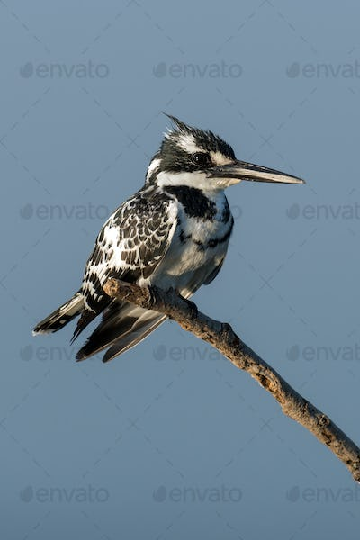 Pied Kingfisher in Kenya, Africa