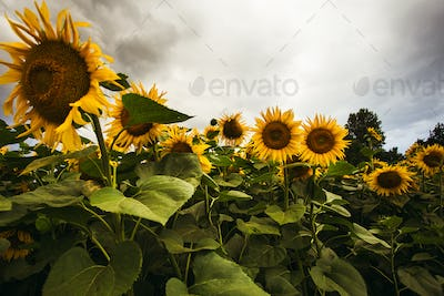 Sunflower field in the summer background blue sky