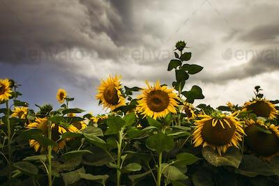 Sunflower field in the summer background blue sky