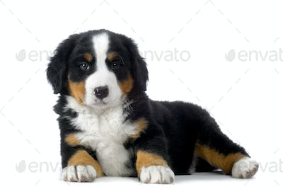 Puppy Bernese mountain dog