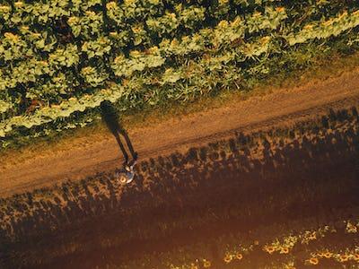 Farmer agronomist using drone to examine sunflower crop field
