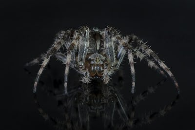 Cross spider (Araneus diadematus)