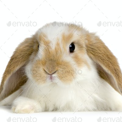 Lop Rabbit