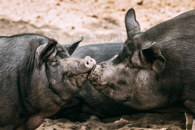 Two Household Pigs Enjoys Kissing Each Other In Farm Yard. Large