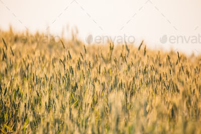 Young Green Wheat Field. June Month