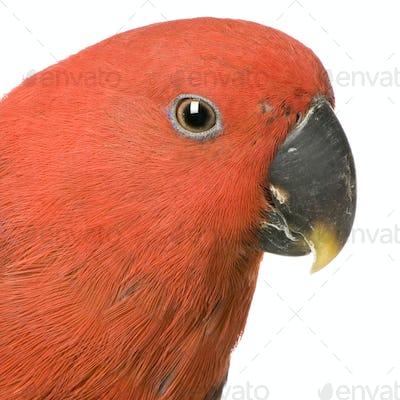 female Eclectus Parrot - Eclectus roratus
