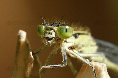 Common blue damselfly (Enallagma cyathigerum)