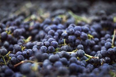 Harvest near Bordeaux