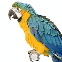 Blue-and-yellow Macaw - Ara ararauna