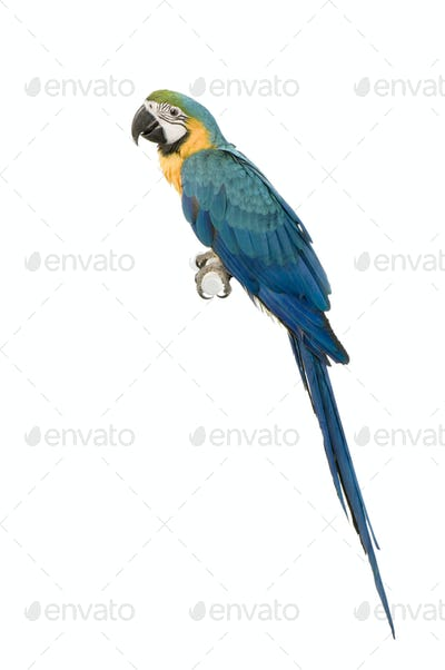 Blue-and-yellow Macaw - Ara ararauna