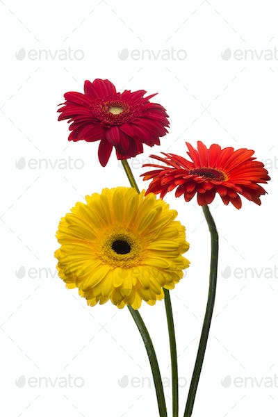 Flowers gerbera multi-colored isolated