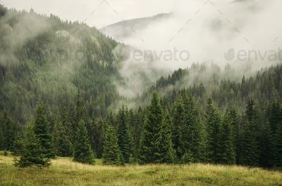 Fog over mountain pine forest