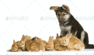 group of bunnies and a german shepherd