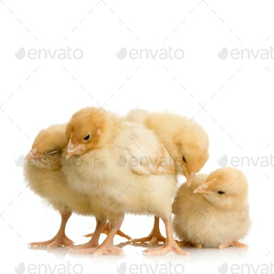 Scared group of chicks