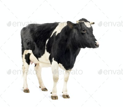 Cow standing in front of white background, studio shot