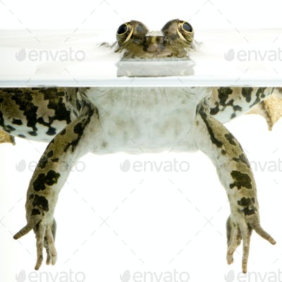 surfacing Frog