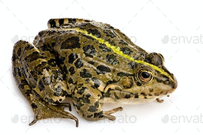 Marsh Frog - Rana ridibunda
