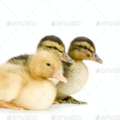 Duckling four days