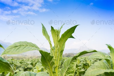 Nicotiana tabacum herbaceous plant-2