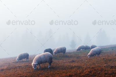 Herd of sheeps in autumn mountains