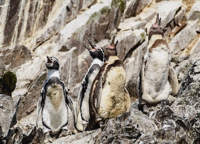 Humboldt penguins on Ballestas Islands in Peru