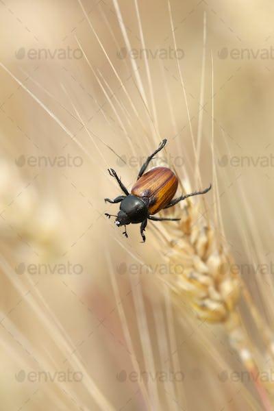 Wheat grain beetle bug sitting on a grain