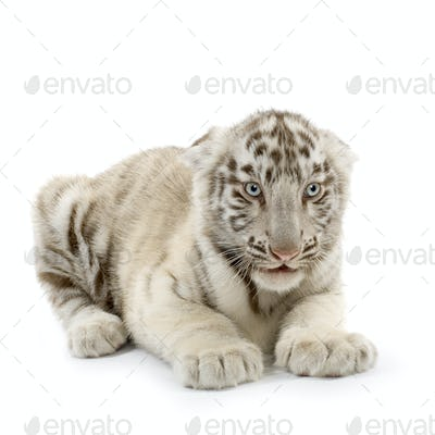 White Tiger cub (3 months)
