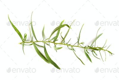 Tarragon in studio