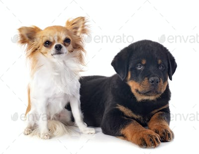 puppy rottweiler and chihuahua