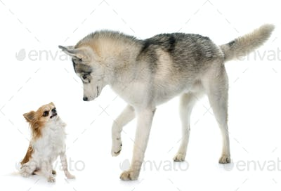 gray siberian husky and chihuahua